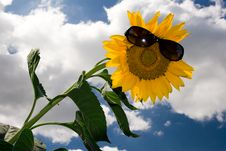 Free Sunflower2 Stock Photography - 5723422
