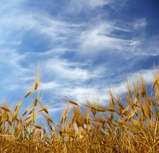 Free Wheat Ears Royalty Free Stock Images - 5723449