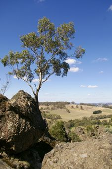 Free Gum Tree Royalty Free Stock Images - 5723559