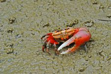 Free Red Crab Royalty Free Stock Photos - 5723988