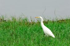 Free Egret Stock Images - 5723994