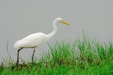 Free Egret Royalty Free Stock Photo - 5723995