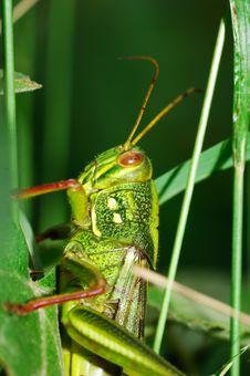 Free Fat Grasshopper Stock Photos - 5724043