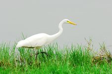 Free Egret Royalty Free Stock Images - 5724079