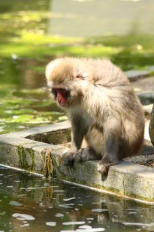 Free Japanese Snow Monkey Royalty Free Stock Photography - 5724407