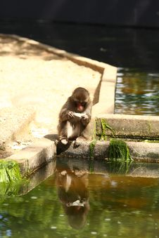 Free Japanese Snow Monkey Stock Images - 5724454