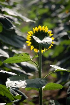 Free Sunflower, Back View Royalty Free Stock Image - 5724546