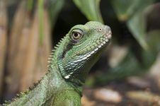 Free Green Lizard Stock Image - 5724681