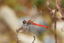 Free Red Dragonfly Royalty Free Stock Photo - 5724945