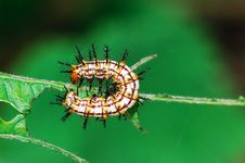 Butterfly Larva Royalty Free Stock Photo