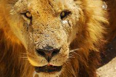 Free Lion Royalty Free Stock Image - 5724966