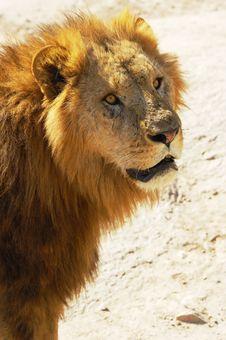 Free Lion Royalty Free Stock Photo - 5724975