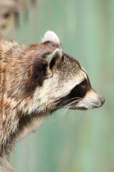 Free Raccoon Stock Photos - 5725173