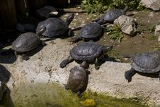 Free Sunbathing Tortoises Stock Photo - 5725770