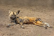 African Wild (painted) Dog Royalty Free Stock Photo