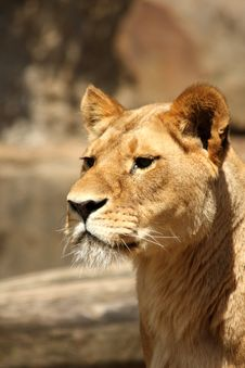 Free Lioness In Sabi Sands Stock Photo - 5726270