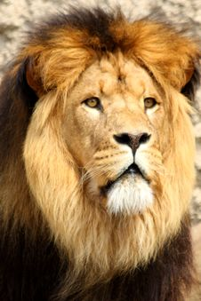 Free Lion In Sabi Sands Stock Images - 5726334