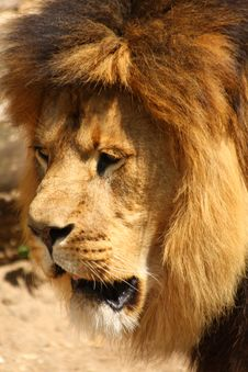 Free Lion In Sabi Sands Stock Photography - 5726402