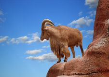 Free Aoudad Stock Photography - 5727292