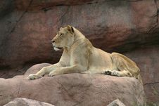 Free Lioness Stock Photos - 5727303