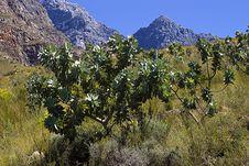 Free Protea Bush On Mountain Slopes Royalty Free Stock Image - 5727316