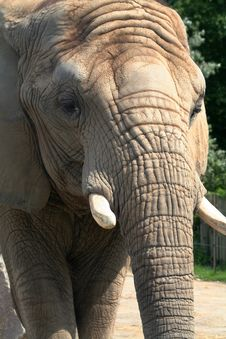 Free Elephant Face Royalty Free Stock Photos - 5727318