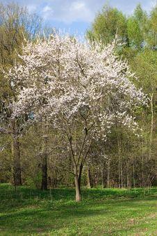 Free Tree Blossoming Royalty Free Stock Photo - 5727595