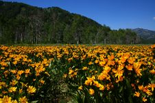 High Country Daisy Patch Stock Image