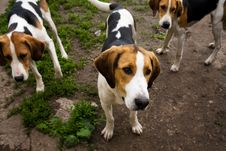 Free Rack Of Hounds Of Dogs Royalty Free Stock Photos - 5729378
