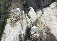 Free Kittiwakes Nesting With Chicks. Royalty Free Stock Photo - 5729895
