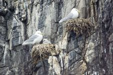 Free Kittiwake On Nest With Chick. Stock Photography - 5729912