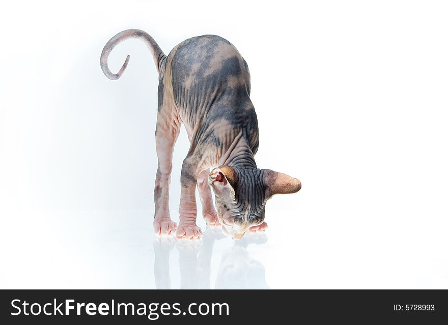 Funny Sphinx Kitten Looking On His Reflection - Free Stock