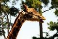 Free Funny Giraffe Royalty Free Stock Image - 5738706
