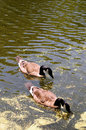 Free Canadian Goose Royalty Free Stock Images - 5739249