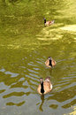 Free Canadian Goose Royalty Free Stock Photos - 5739278