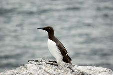 Free Guillemot Standing On Rock. Royalty Free Stock Photo - 5730165