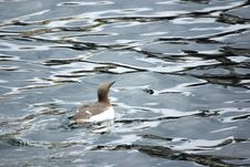 Free Guillemot On The Sea. Stock Photography - 5730192
