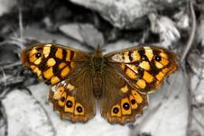 Free Brown Butterfly Stock Photography - 5730242