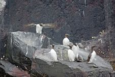Free Guillemots Standing On Rocks. Royalty Free Stock Images - 5730269