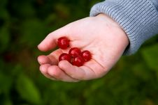 Free Handful Of Red Berries Royalty Free Stock Image - 5730326