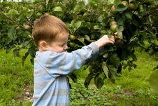 Free Picking Apples Stock Photos - 5730333