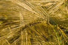 Free Ripe Wheat Stock Photo - 5730720