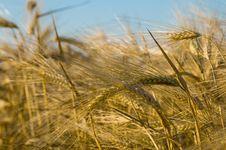 Free Ripe Wheat Stock Image - 5730721