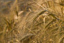 Free Ripe Wheat Stock Photos - 5730723