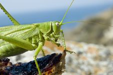 Free Green Locust Eating Meat Stock Images - 5730884
