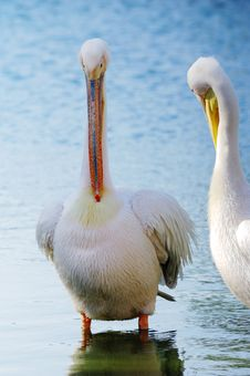 Free Pelicans Stock Images - 5731324