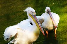 Free Two Pelicans Royalty Free Stock Images - 5731329