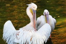 Free Pelicans Stock Photo - 5731330
