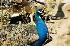 Free Peafowl Royalty Free Stock Photography - 5731347