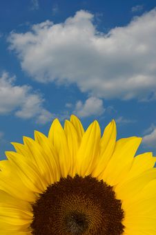 Free Sunflower Close Up Royalty Free Stock Photography - 5731537